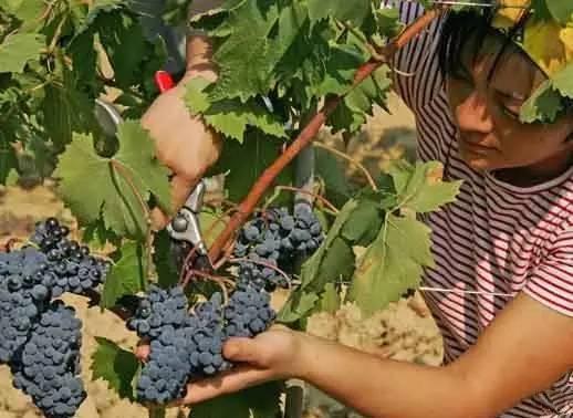 葡萄酒品种与明星(一)