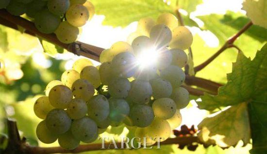 葡萄酒品种与明星(二)