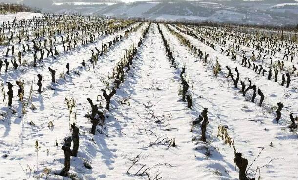 皑皑白雪和葡萄酒的关系