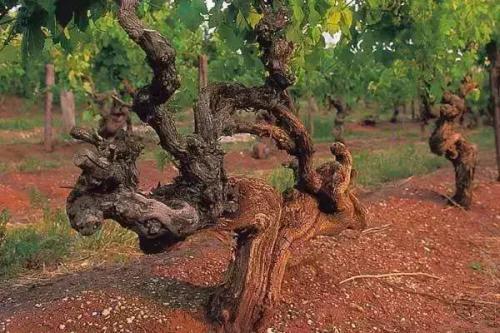 老藤葡萄酒是好酒吗?
